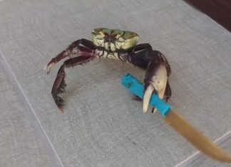 Crabe vs Homme, Couteau