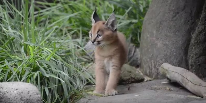 Bébé caracal, Zoo de l'Oregon